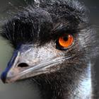 The 3 letters answer is EMU