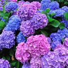 The 9 letters answer is HYDRANGEA