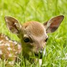 The 4 letters answer is FAWN