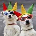 Dogs with sunglasses and party hats on