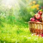 A basket of red apples on the grass