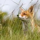 A fox in the grass