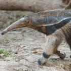 The 8 letters answer is ANTEATER