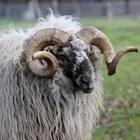 A ram animal with big horns