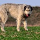 The 9 letters answer is WOLFHOUND