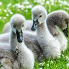 The 6 letters answer is CYGNET