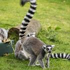 The 5 letters answer is LEMUR